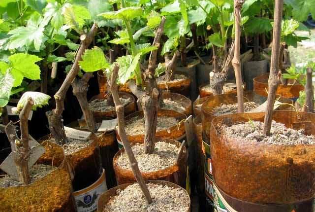 Виноград «Валентина» прекрасно размножается черенками