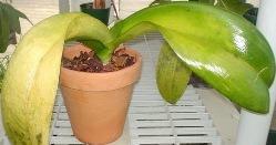 У «Фаленопсиса» желтеют листья по ряду причин