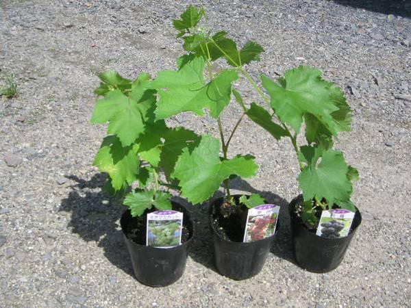 Посадка винограда осенью саженцами является наиболее оптимальным вариантом