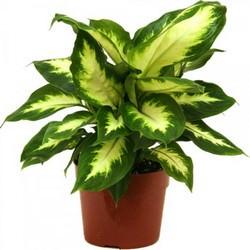 Диффенбахия – очень популярная для выращивания в домашних условиях