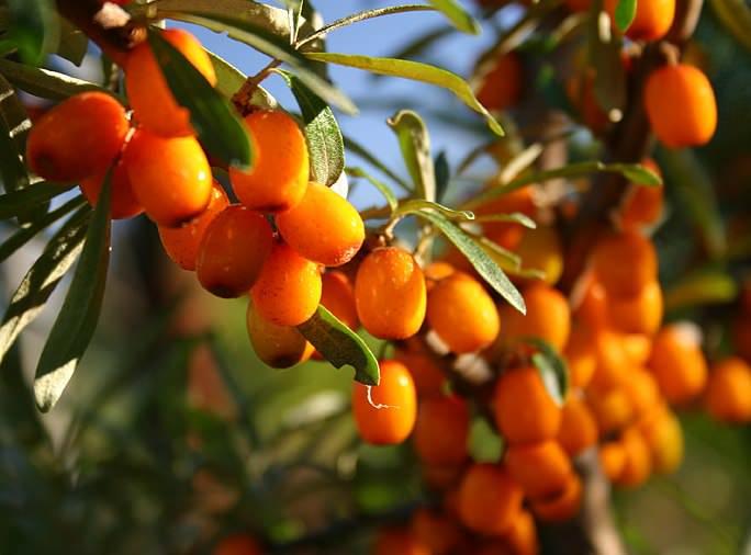 Облепиха является одним из немногих плодовых растений, которые способны формировать стабильные и ежегодные урожаи даже в суровых климатических условиях