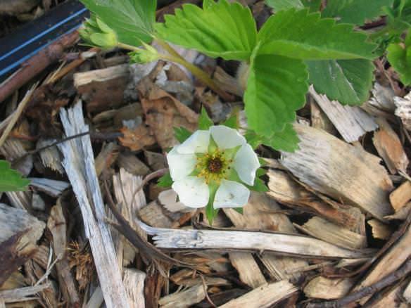 Обычные древесные опилки – это прекрасный и экологически чистый, натуральный, природный материал для мульчирования почвы под клубникой