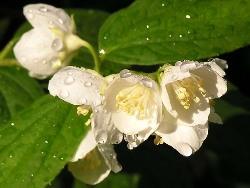 Чубушник лучше использовать для свободно растущих, для высоких и для средних живых изгородей