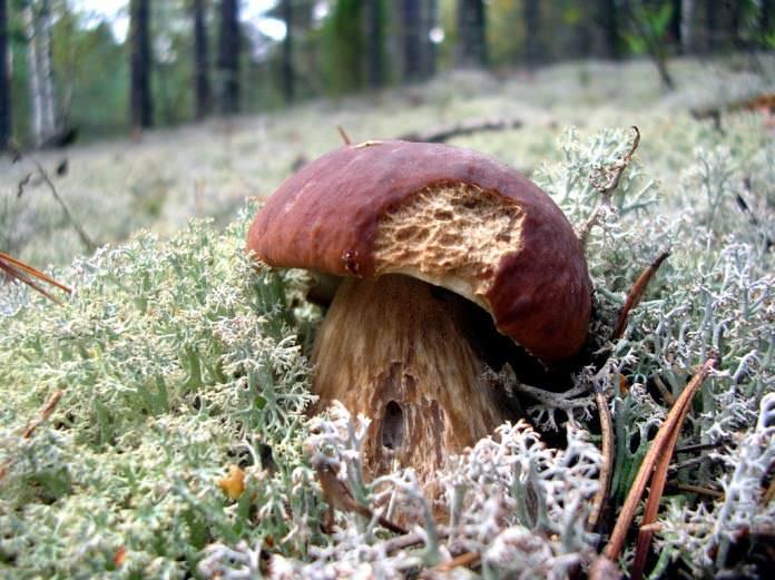Как и лесные, белые грибы, выращенные в домашних условиях, могут страдать от различных поражающих факторов