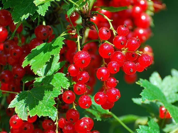 Красная смородина очень хорошо и легко размножается посредством одеревеневших черенков