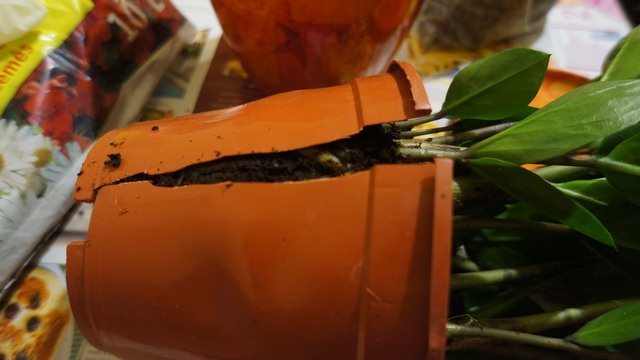 Сигналом для того, чтобы пересадить культуру, может послужить заполнение корневой системой всего пространства вазона или цветочного горшка