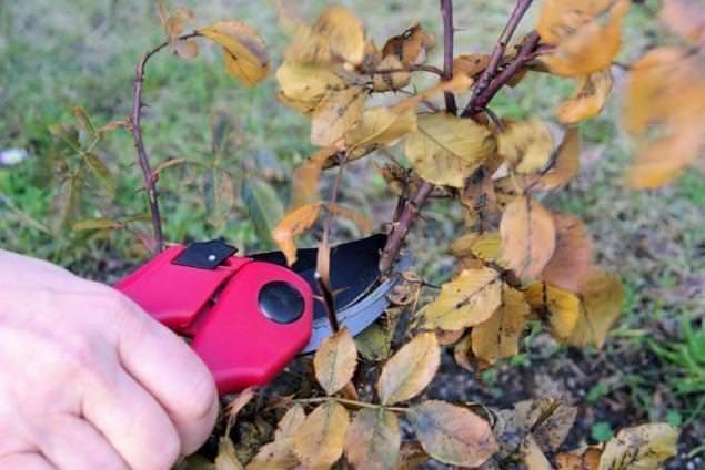 Осенняя обрезка – это жизненно необходимое для роз мероприятие