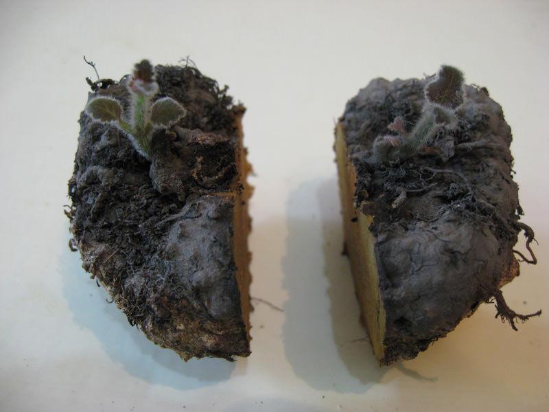 Для глоксинии размножение этим методом малоэффективно — клубни часто загнивают