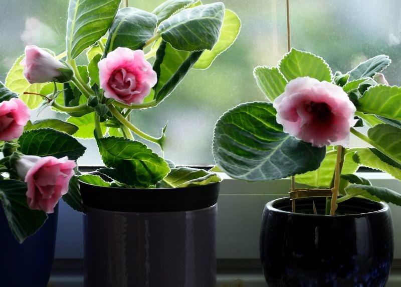Глоксиния не цветет, если ей не подходит грунт, горшок, освещение, подкормка, или ее не устраивает хранение во время покоя