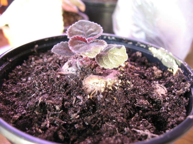 После отцветания, когда листья засыхают и отмирают, нужно дать почве высохнуть
