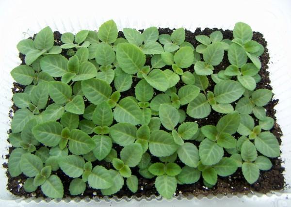 Вырастить глоксинию из семян можно как из собственного семенного материала, так и из купленного в магазине