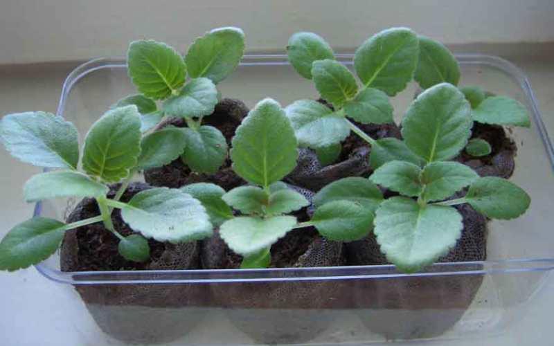 Для того чтобы вырастить в домашних условиях глоксинию из семян, нужно приобрести специальные прозрачные контейнеры для рассады