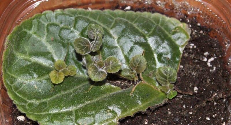 Размножение глоксинии возможно листовым методом