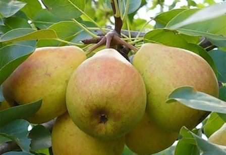 Как посадить и вырастить грушу