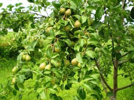 Особенности выращивания груши