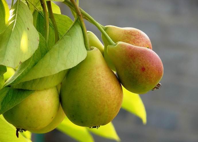 Прививка позволяет получить максимальное количество новых плодовых растений из минимального количества исходного материала