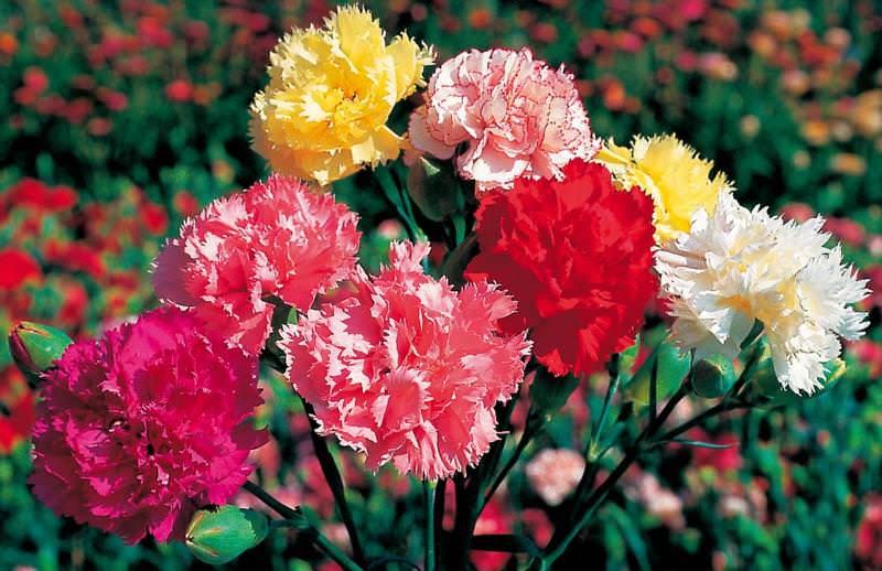 В конце весны цветы определяют на то место в земле, где они будут расти и радовать хозяина