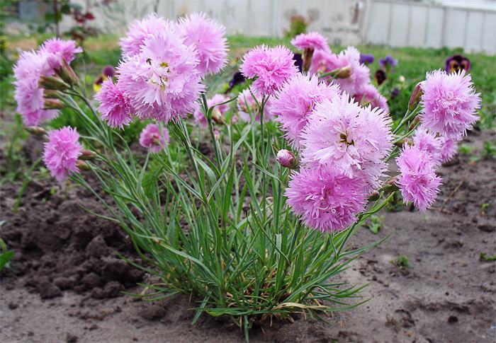 Намного лучше гвоздика растет на солнечном склоне, где имеется плодородная и увлажненная почва