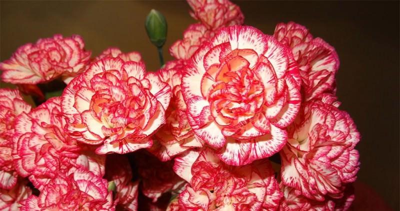 Правильно высеянное растение в январе может вполне успешно зацвести в начале июля и порадовать своим видом хозяина дачи или загородного дома