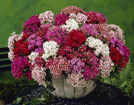Гвоздика турецкая — популярный цветок среди садоводов