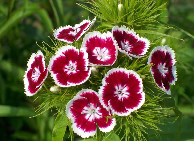 Турецкая гвоздика — декоративный цветок