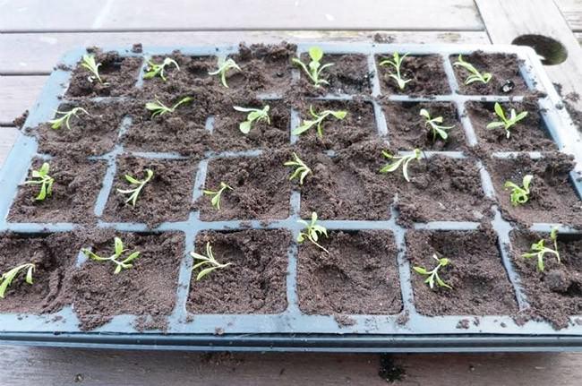 Если гвоздика турецкая сажается семенами, почву следует корректно подготовить