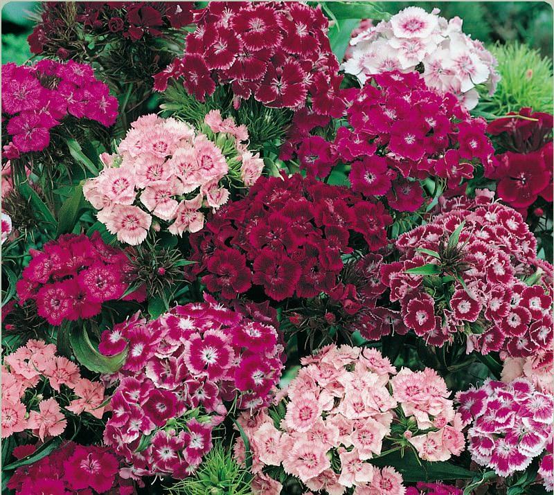 Сорта турецкой гвоздики могут быть разными. Садоводы отдают свое предпочтение тому или иному сорту в зависимости от внешних качеств: размера цветков, их количеству, окраске и пр.
