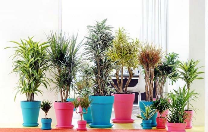 В процессе выбора посадочной емкости для выращивания комнатной драцены нужно учитывать ботанические характеристики растения и особенности корневой системы