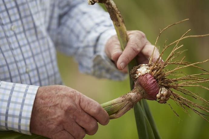 Выкапывают луковицы гладиолуса в конце октября или начале ноября