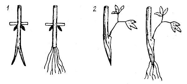 Возможен вариант размножения клематисов черенками: 1 — одревесневших; 2 — зеленых
