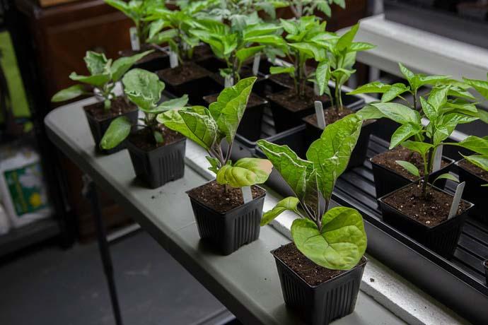 Опытные огородники предпочитают выращивать рассаду баклажана в отдельных посадочных ёмкостях с последующим пересаживанием на постоянное место посредством перевалки