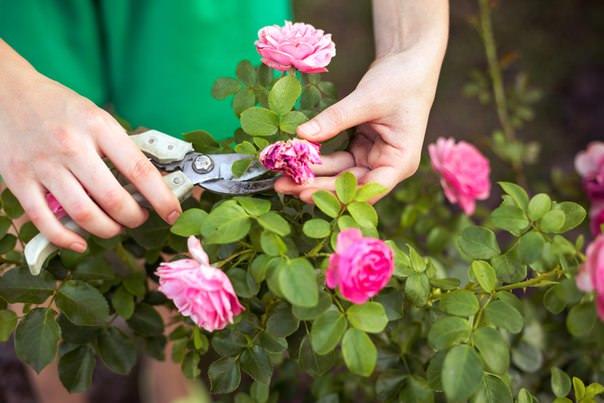 Основное назначение осенней обрезки шрабов – это придание кустам аккуратного и ухоженного вида