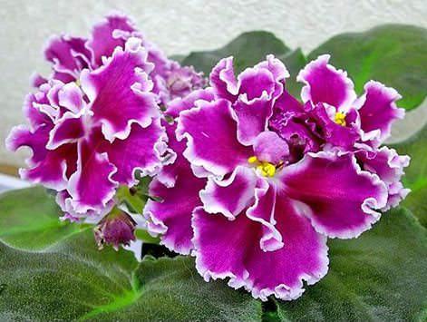 Фиалка Амадеус популярна в комнатном цветоводстве