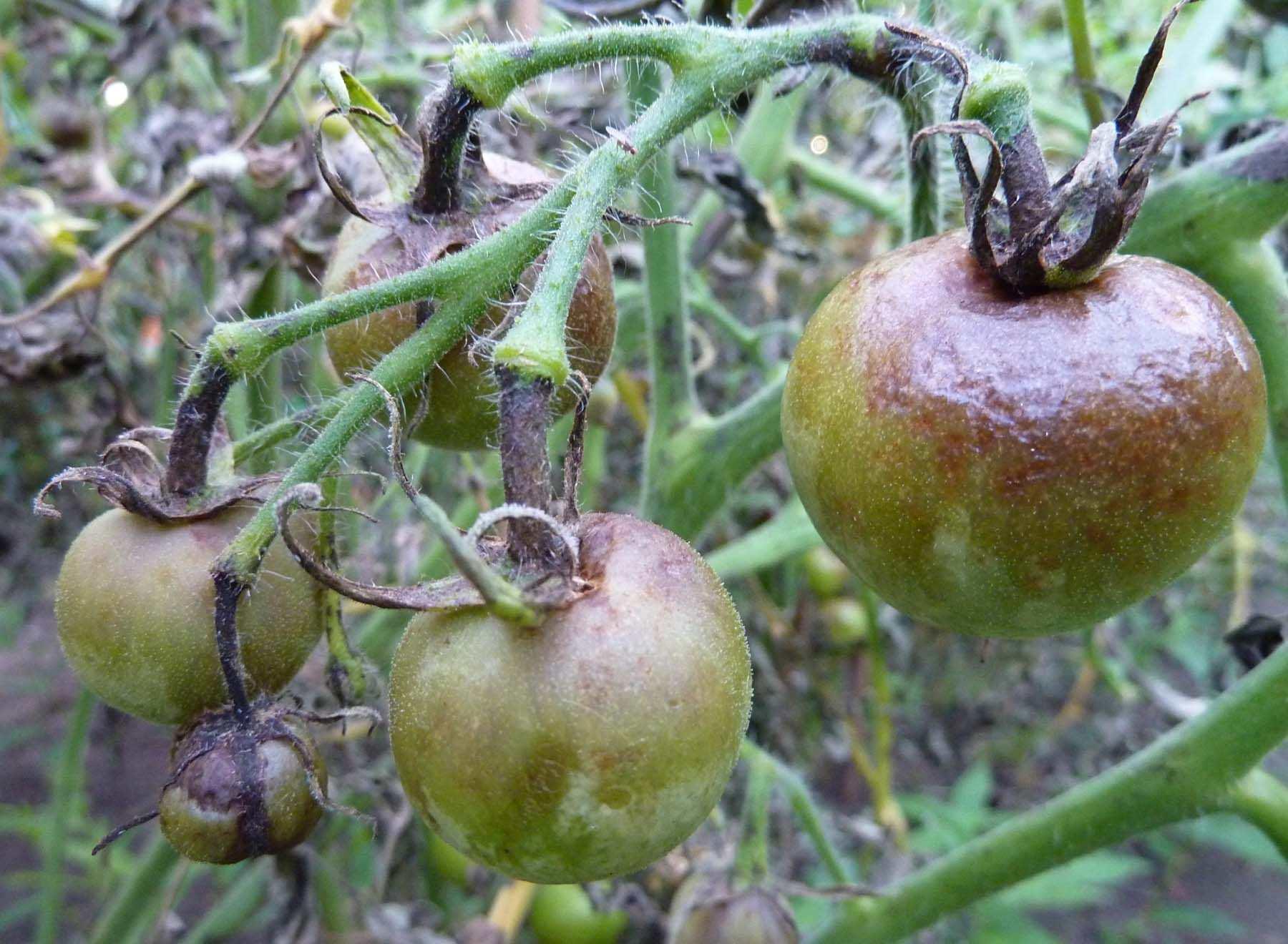 Говоря простым языком, фитофтороз активирует процесс гниения живых растений