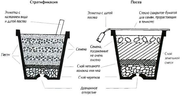 Посадка семян малины осуществляется согласно стандартной схеме