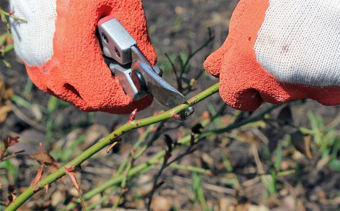 Осенняя обрезка – это удаление зеленых побегов и их укорачивание до высоты укрытия