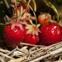 Мульчирование клубники становится популярным у российских садоводов