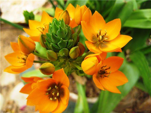 В цветение агавы вступают очень редко