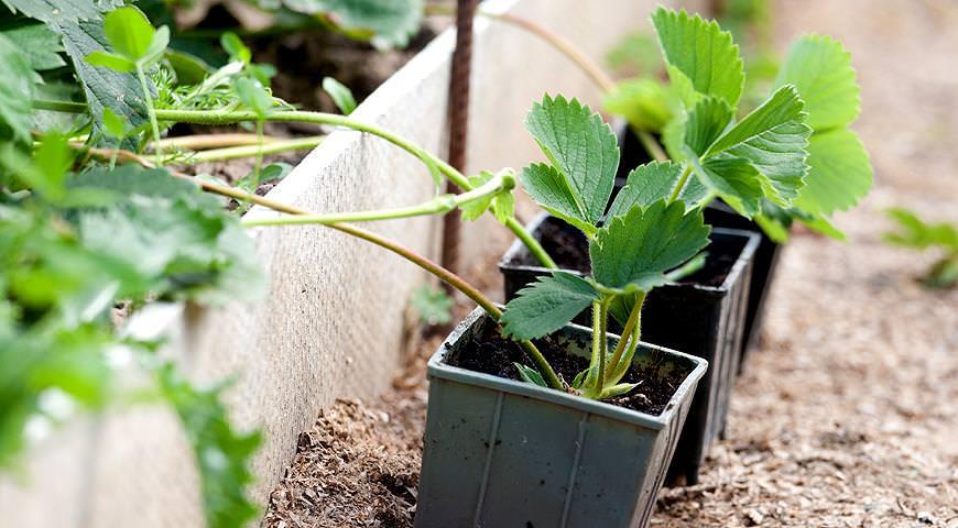 Самым популярным в нашей стране способом, используемым для размножения садовой земляники в условиях приусадебного садоводства, является высаживание усов