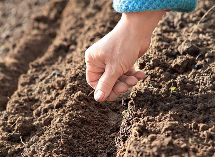 Дражирование эффективно при проведении посева под зиму и ранней весной