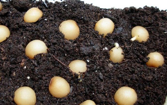 Проращивание семян кливии осуществляется при температурном режиме в 22-24С с периодическим увлажнением и проветриванием посевов