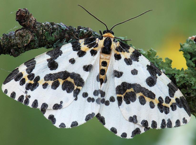 Крыжовниковая пяденица представляет собой небольшую бабочку