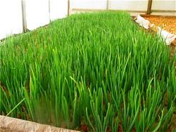 Выращивание зелени в теплице как бизнес является делом довольно рентабельным, а главное, финансово выгодным