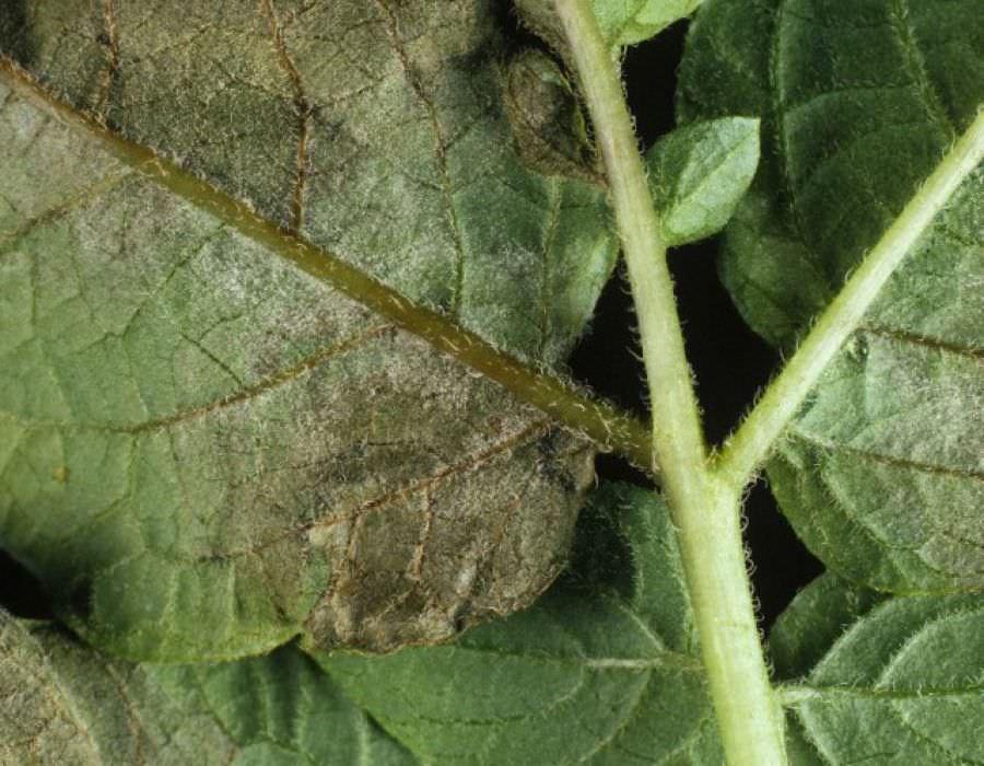 Фитофтороз сложно устранить, но лечить его нужно при появлении самых первых признаков, в противном случае под пагубное влияние попадут все близлежащие растения