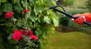 Какими удобрениями подкормить розы