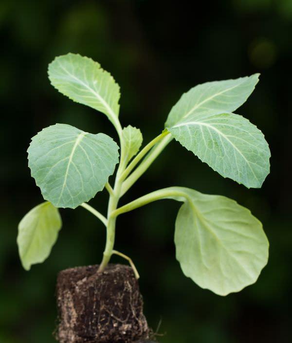 Секреты выращивания рассады капусты, на самом деле, достаточно просты