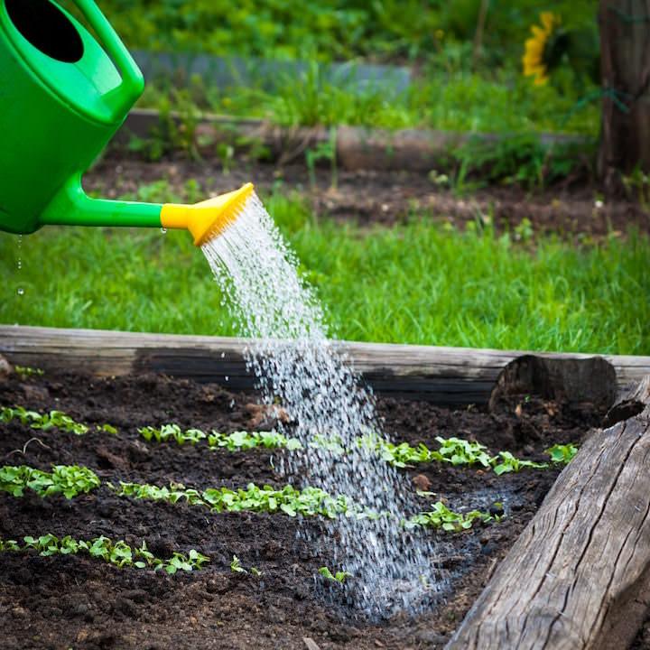 Важно организовать правильный полив рассады капусты