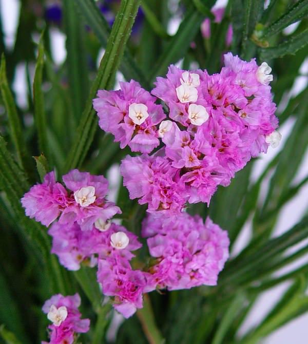 В саду кермек всегда выделяется немного необычной формой своих соцветий