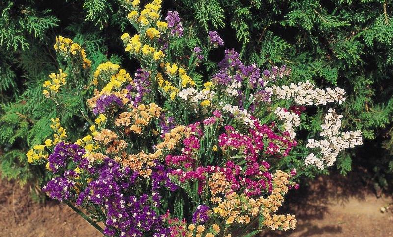 Цветет он продолжительно с конца июня до самой поздней осени