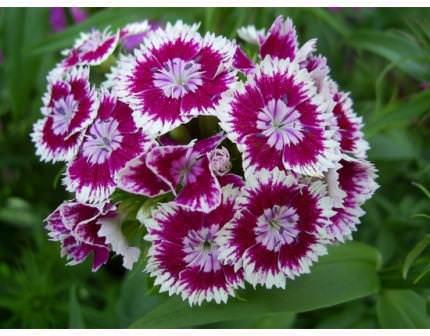 Несмотря на неприхотливость растения, только соблюдение всех условий выращивания может быть гарантией его пышного и продолжительного цветения